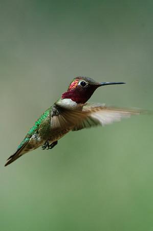 Anna's Hummingbird-114