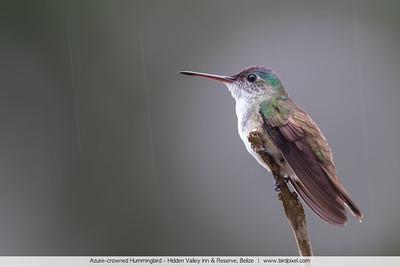 Azure-crowned Hummingbird - Hidden Valley Inn & Reserve, Belize