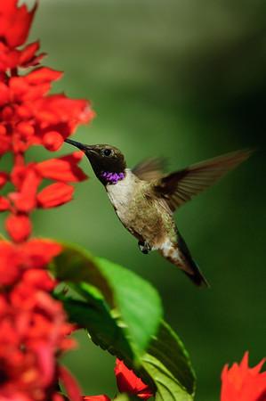 Black-chinned Hummingbird-221