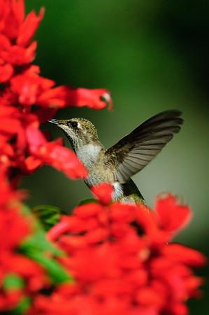 Black-chinned Hummingbird-216
