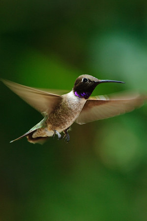 Black-chinned Hummingbird-205