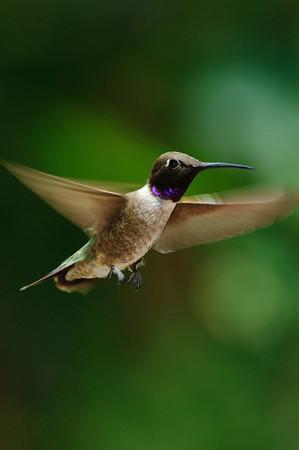 Black-chinned Hummingbird-205