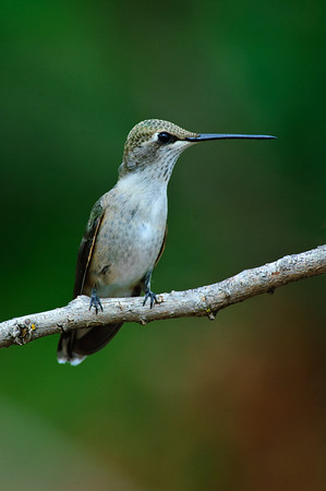 Black-chinned Hummingbird-330-Edit