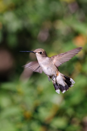 Black-chinned Hummingbird-585