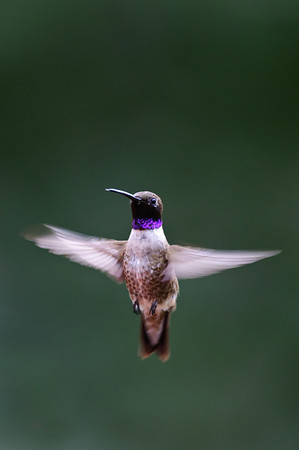 Black-chinned Hummingbird-684