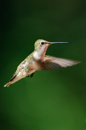 Black-chinned Hummingbird-252