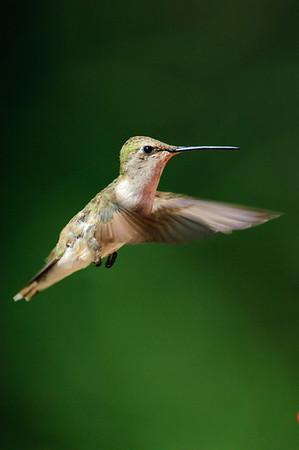 Black-chinned Hummingbird-252