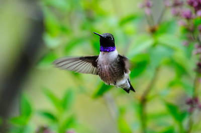 Black-chinned Hummingbird-1102