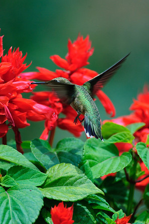 Black-chinned Hummingbird-198
