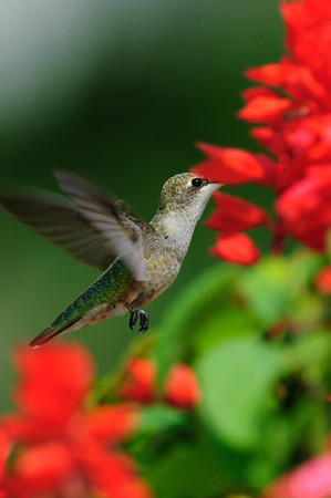 Black-chinned Hummingbird-207