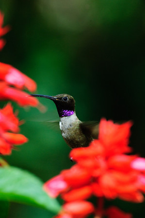 Black-chinned Hummingbird-177