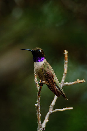 Black-chinned Hummingbird-125
