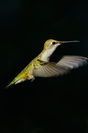 Black-chinned Hummingbird-192