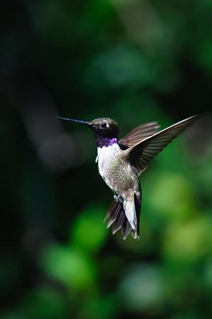 Black-chinned Hummingbird-539