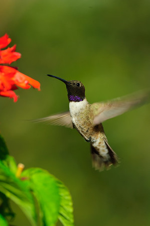 Black-chinned Hummingbird-309