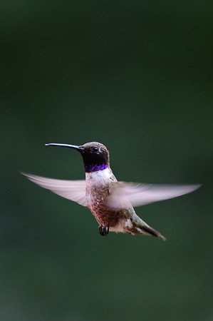 Black-chinned Hummingbird-675