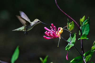 Black-chinned Hummingbird-6045