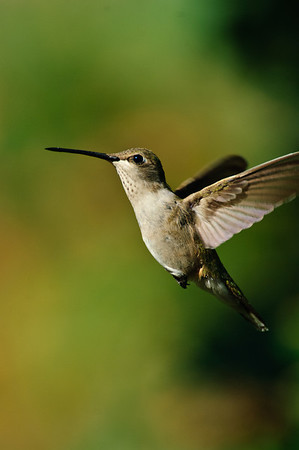 Black-chinned Hummingbird-175