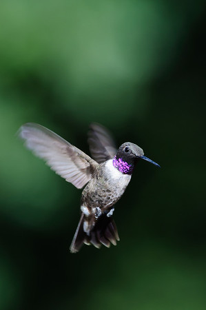 Black-chinned Hummingbird-749