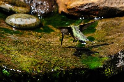 Black-chinned Hummingbird 9131