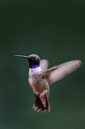 Black-chinned Hummingbird-678