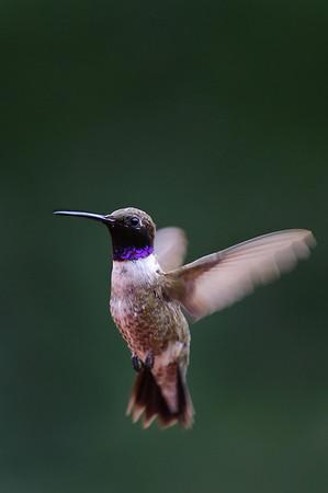 Black-chinned Hummingbird-678