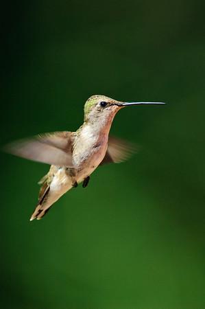 Black-chinned Hummingbird-253