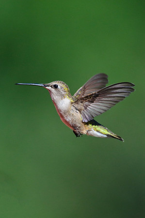 Black-chinned Hummingbird-579-Edit