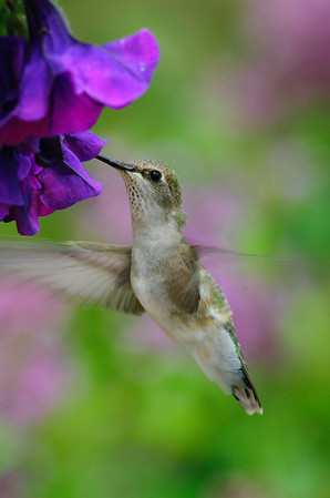 Broad-tailed Hummingbird-214-1
