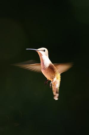 Black-chinned Hummingbird-743