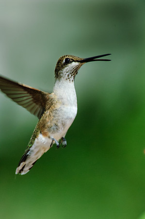 Black-chinned Hummingbird-208