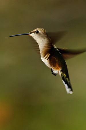 Black-chinned Hummingbird-123
