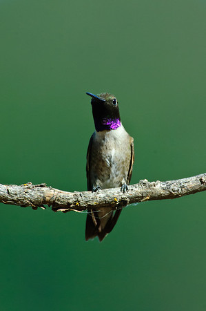 Black-chinned Hummingbird-294