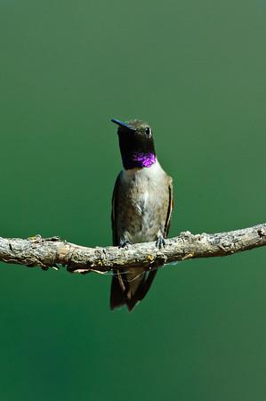 Black-chinned Hummingbird-294