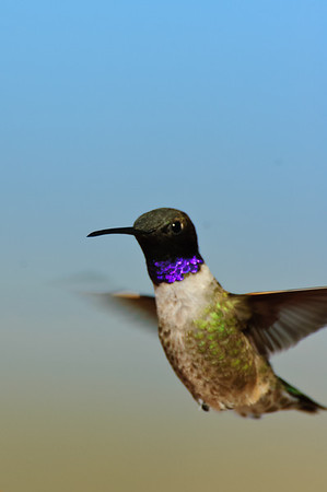 Black-chinned Hummingbird-122