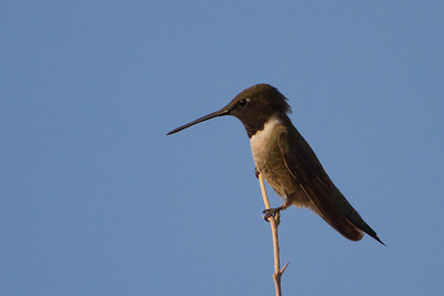 Black-chinned Hummingbird - San Pedro House, Sierra Vista, AZ, USA