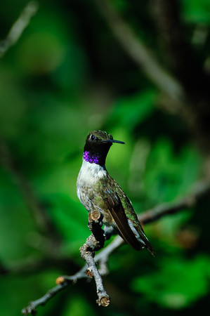Black-chinned Hummingbird-190