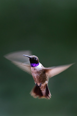 Black-chinned Hummingbird-688
