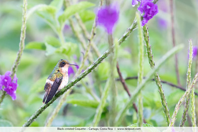 Black-crested Coquette - Cartago, Costa Rica