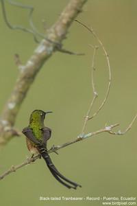 Black-tailed Trainbearer - Record - Puembo, Ecuador