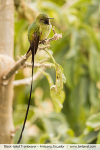 Black-tailed Trainbearer - Antisana, Ecuador