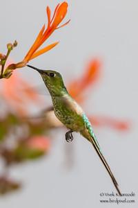 Black-tailed Trainbearer - Al Abergue Hotel,  Ollantaytambo, Peru