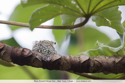 Black-throated Mango Nest - Gilpin Trace, Tobago