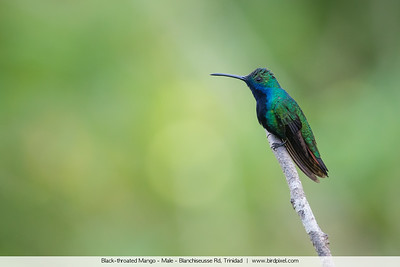 Black-throated Mango - Male - Blanchiseusse Rd, Trinidad