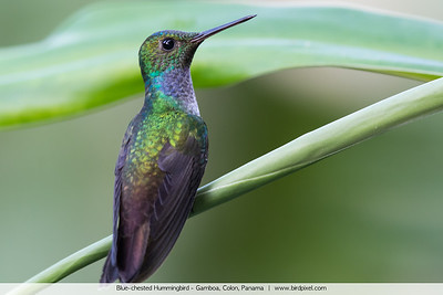Blue-chested Hummingbird - Gamboa, Colon, Panama