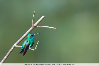 Blue-chinned Sapphire - Asa Wright Nature Center, Trinidad