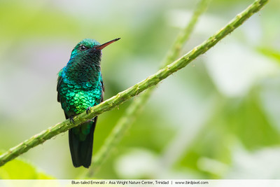 Blue-tailed Emerald - Asa Wright Nature Center, Trinidad