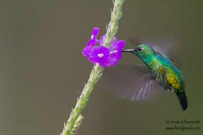 Blue-tailed Emerald - Amazonia Lodge, Nr. Manu National Park, Peru