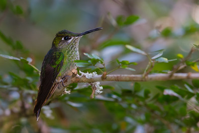 Booted Racket-tail - Cock-of-the-Rock Lodge, Nr. Manu National Park, Peru