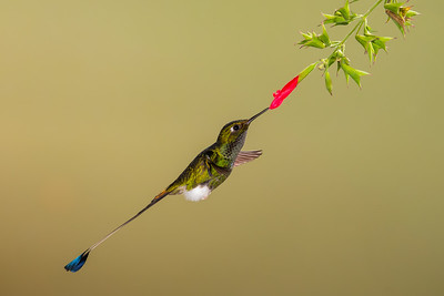Booted Racket-tail - Tandayapa Lodge, Quito, Ecuador